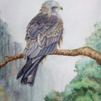 Arwen the Black Kite